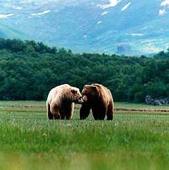 Grizzly Bears in a Meadow